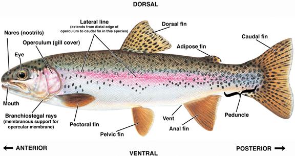 trout fish diagrams carp fish diagrams